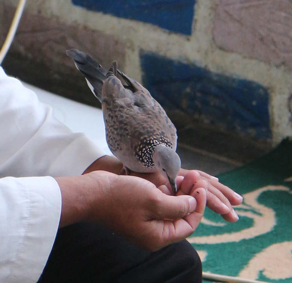 Burung perkutut makan di tangan