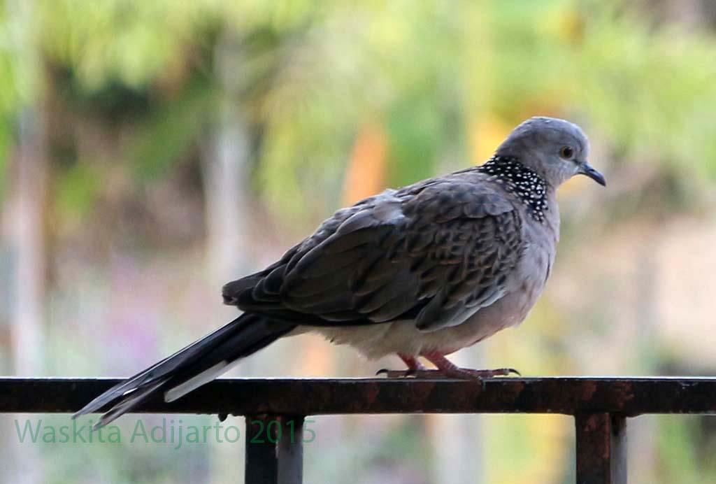 Burung Perkutut Jinak